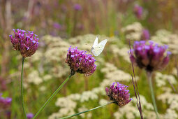 Butterfly on Brazilian vervain (Verbena bonariensis) in garden