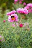Michaelmas daisies in garden