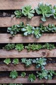 Wooden pallets planted with succulents and mounted on wall
