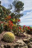 Kakteengarten mit Christusdorn und Schwiegermutterstuhl-Kaktus