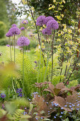 Flowering allium 'Mercurius' in flowerbed