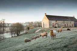 Solognote sheep in meadow with farmhouse in background