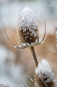 Wild teasel capped with ice in wintry landscape