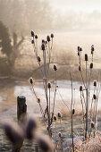Wild teasels in wintry landscape