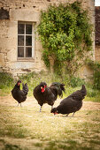 Black cockerel and hens outside old stone house
