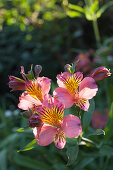 Pink Peruvian lily in sunlight