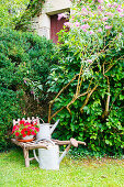 Old watering cans and wooden wheelbarrow in front of hedge