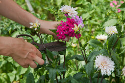Cutting dahlias with scissors