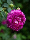 Pinkfarbene Rose im Garten