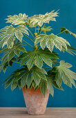 Aralia in terracotta pot against blue wall