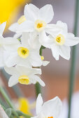 White-flowering narcissus