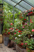 Pelargoniums in many colours on wooden crates in greenhouse