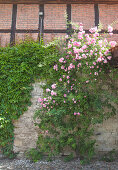 Climbing rose and Virginia creeper on façade of old brick house