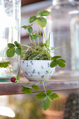 Wild strawberry planted in china bowl