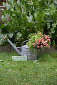 Lavish bouquet of roses and lady's mantle in watering can