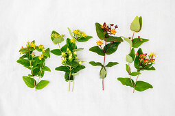 Various types of St. John's wort (Hypericum)