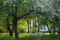 Flowering fruit trees in garden with white country house in background