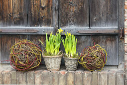 Narcissus planted in baskets and balls of twigs
