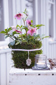 Pink hellebore in pot wrapped in moss