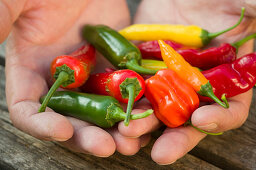 Multicoloured chilli peppers held in cupped hands