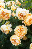 Cream colored roses in the garden