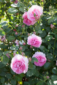 Pink blooming roses in the garden