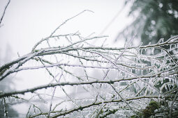 Icy branches in winter