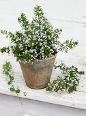 Flowering lesser calamint (Calamintha nepeta, variety 'White cloud') in terracotta pot
