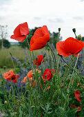 Turkish Poppy In The Garden