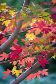 Red maple tree 'Autumn Blaze' (detail)