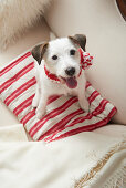 Dog wearing hand-knitted scarf sitting on red-and-white striped cushion
