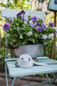 Pansy in an old kitchen sieve