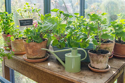 Pots with standing geraniums on worktable in the greenhouse