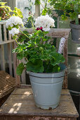 Standing, white geranium in enameled bucket