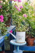 Standing geraniums in pots and old watering can