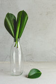 Rubber plant leaves in glass bottle
