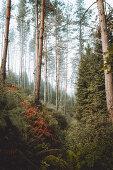 Herbstlicher Wald mit Farn und Kiefern