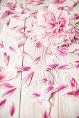 Pfingstrosenblüte und Blütenblätter auf Holzuntergrund