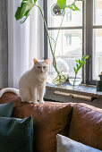 White cat on brown leather sofa next to window with Swiss cheese plant cuttings in vases