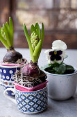 Hyacinths planted in mugs