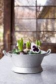 Alte Zinkwanne mit Stiefmütterchen und Hyazinthen bepflanzt