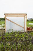 DIY tomato greenhouse on allotment