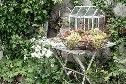 Wire basket of hydrangeas on shabby-chic garden table