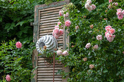 Climbing rose, old shutter and cake pan as decoration
