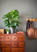 Swiss cheese plant (Monstera deliciosa) on shoe cabinet in hallway