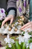 Hands placing grape hyacinth bulbs in egg box