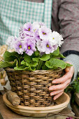 Hands holding lilac primula planting in basket