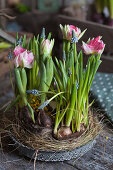 Tulips and grape hyacinths in nest of hay on metal tray