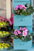 African violets arranged in turquoise drawers