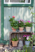 Geraniums in terracotta pots on wooden crate used as shelving unit